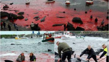Ежегодное убийство дельфинов-гринд возле Фарерских островов
