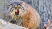 Кот, который победил время: манул не меняется 12 миллионов лет