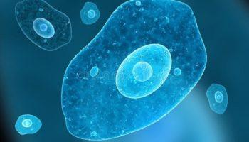 Что такое амеба? Студенистое одноклеточное существо-животное