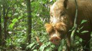 Самый толстый хряк в мире: редкие кадры с самыми толстыми свиньями